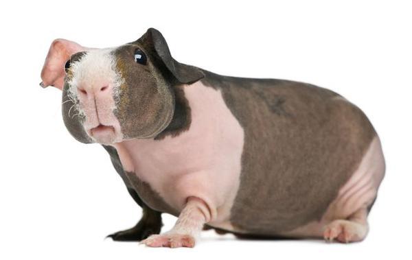 Фото  Морские свинки Скинни