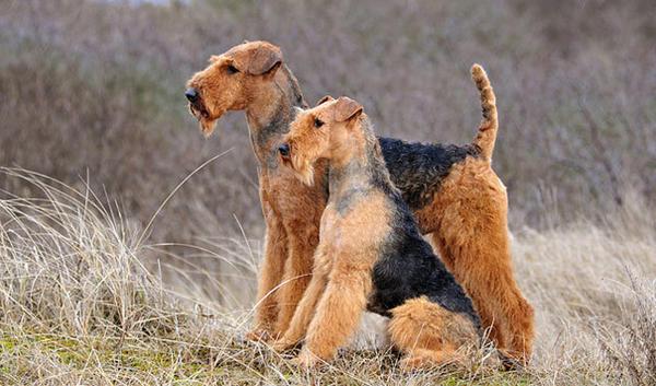 Фото Порода собак Эрдельтерьер