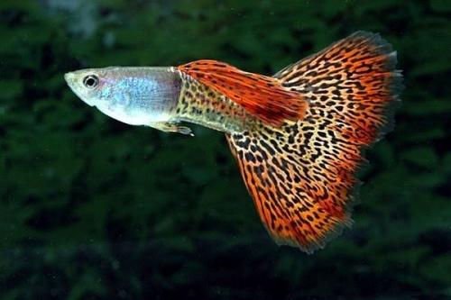 Фото Аквариумные рыбки гуппи